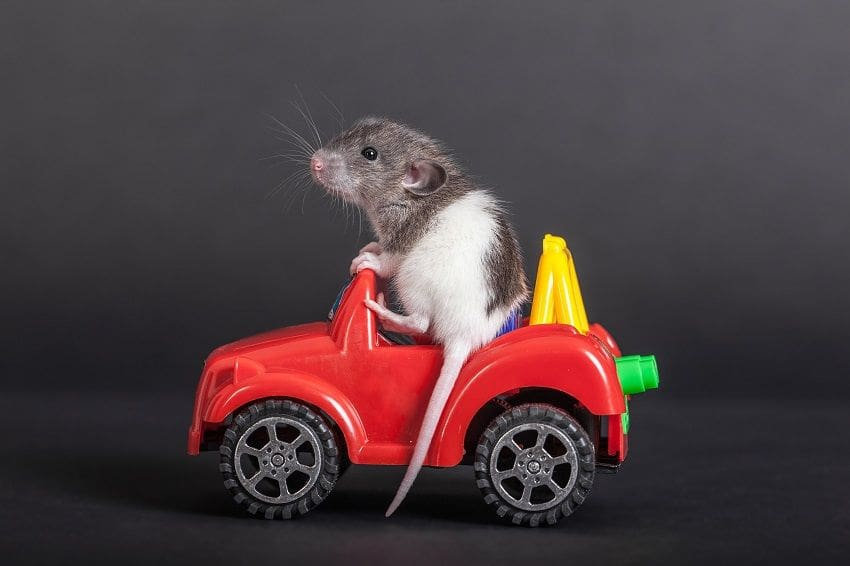 domestic baby rat on the toy car